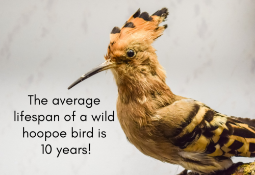 Bible-buddies-Day-2-Hoopoe
