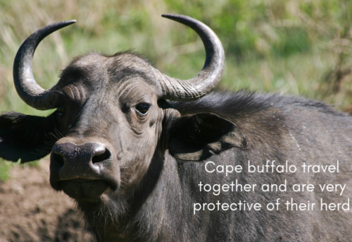 Bible-buddies-Day-3-capebuffalo